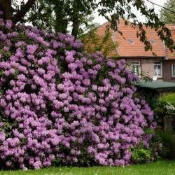 fast growing flowering evergreen shrubs fast growing trees growing tree and fast growing on