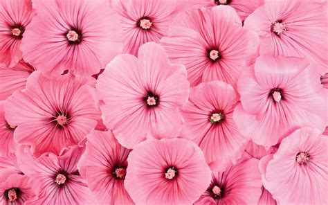 Pink Flower Wallpaper | wallpapers pink flowers wallpapers