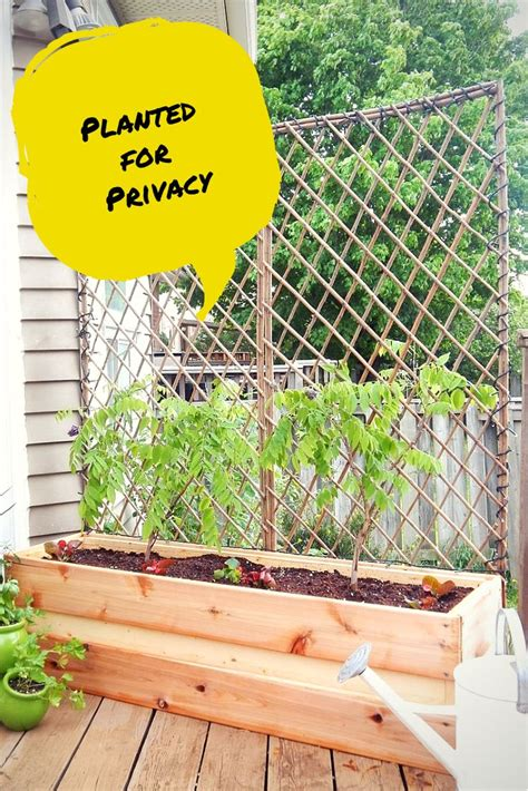 climbing plants for privacy 1000 images about fence me in on hedges