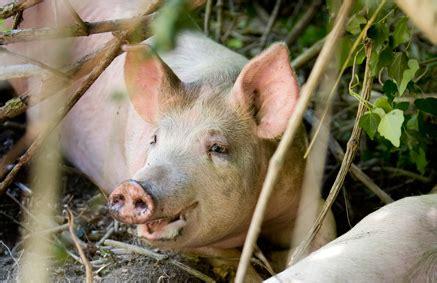 alimentazione maiali i suini bradi