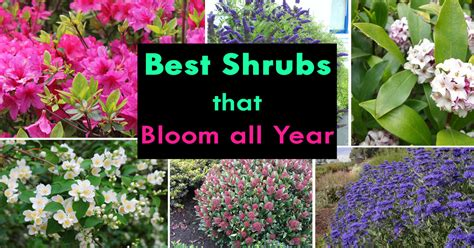 Shrubs That Bloom All Year Year Round Shrubs According To All Year Garden Flowers