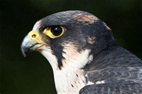 falco pellegrino alimentazione il teatro dell spettacoli di falconeria