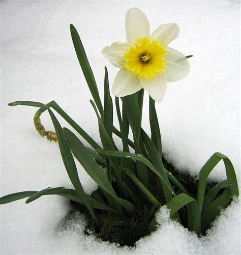 fiore neve foto gratis giunchiglia primavera neve fiori