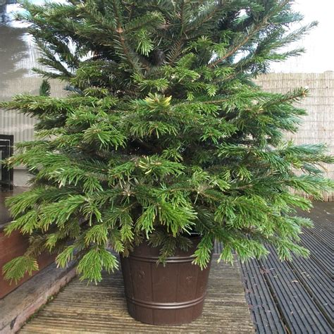 how to stand a real christmas tree true barrel 8ft or 10ft real tree stand