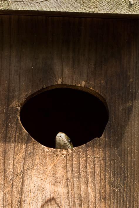 saplans wood duck box predator guard plans