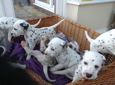 spotted puppies dalmatian puppies black spotted and liver spotted rushden northtonshire