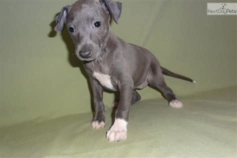 greyhound puppy price italian greyhound puppy for sale near springfield missouri 125e04b1 c101