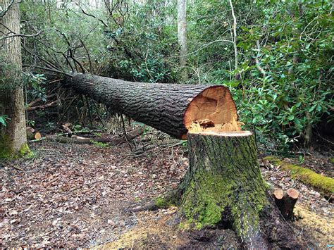 how to cut a tree story of a tree the reluctant writer