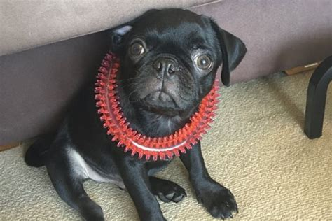 how much are pugs in australia egg the pug s owner charged with false robbery report puppy still missing