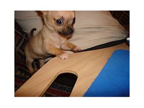 free chihuahua puppies michigan chihuahua puppies in michigan