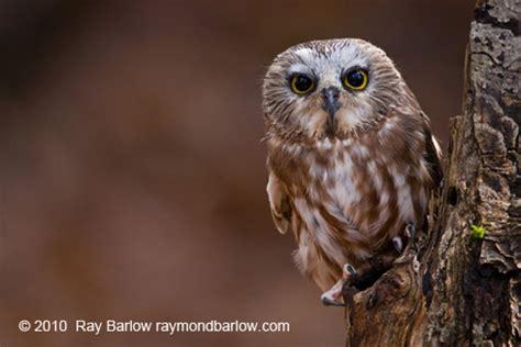 saw whet owls hoot and hoot | birdnote