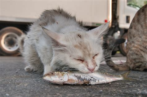 eats cat photo 1220 20 white cat a fish near wholesale fish market in abu hamour doha