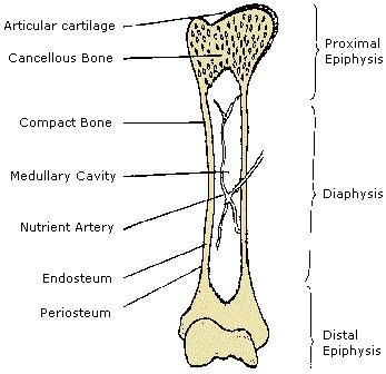cross section of a long bone mobile site physiology skeletal system