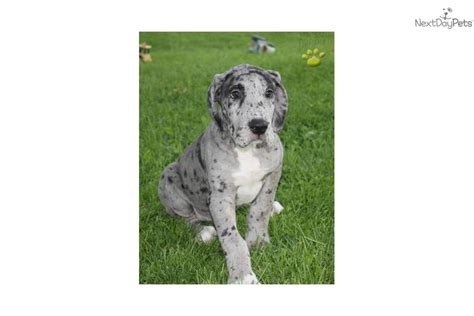 spotted great dane puppy meet handsome a great dane puppy for sale for 1 200 handsome adorable spotted