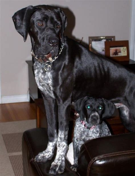 shippenville pa pointer boxer 17 best images about german shorthaired pointer dogs mixes