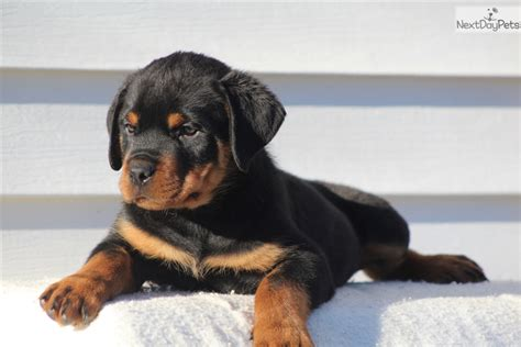 crate size for rottweiler rottweiler puppy for sale near carolina 00a519b1 b091