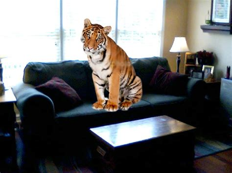 y on the couch tiger on the couch by crispyalien on deviantart