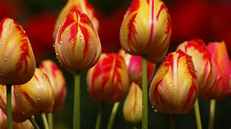 striped tulips wallpaper 1920x1080 23564