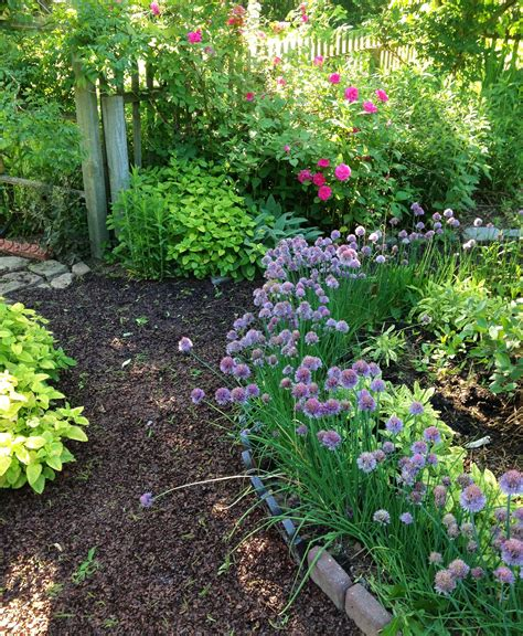 chive border for the herb or vegetable garden an