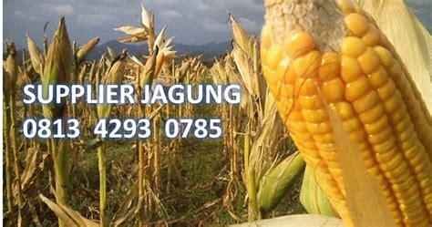 Supplier Jagung Pakan Ternak supplier jagung berkualitas 081342930785 terpercaya