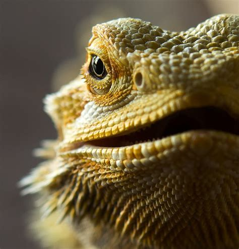 how often do bearded dragons go to the bathroom the charm of the little bearded dragons