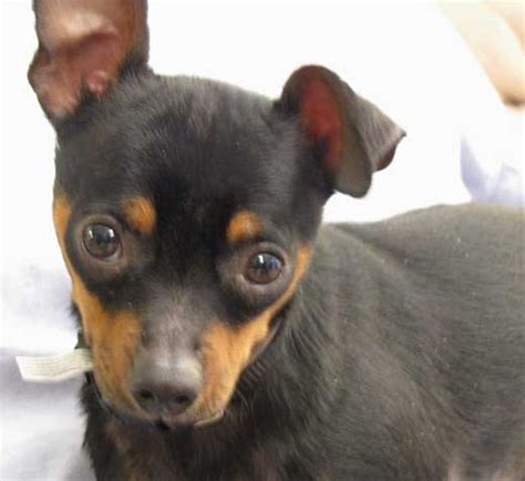 min pin chihuahua mix puppy is your a chihuahua or miniature pinscher 187 minpinmania