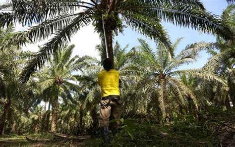 Minyak Nilam Tahun Ini produksi minyak sawit indonesia malaysia tumbuh 10 tahun ini