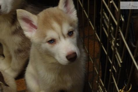 free siberian husky puppies in michigan 3 siberian husky puppy for sale near detroit metro michigan a35fc4f2 cf51