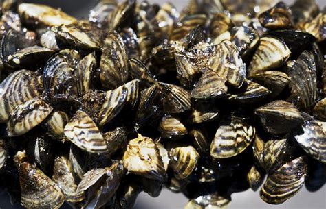 how to remove zebra mussels from a boat state halts zebra mussel project in west metro after major