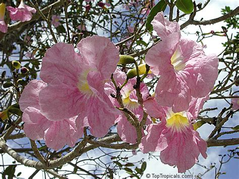 tabebuia heterophylla pink trumpet tree toptropicals com