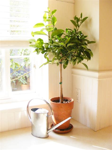 indoor lemon tree how to transition tropical plants indoors meyer lemon tree plants and gardens