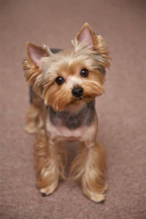 haircuts for yorkies with thin hair yorkie haircuts pictures best haircuts pretty