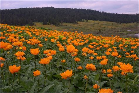 fiori attinomorfi il trollius il fiore degli elfi cura coltivazione e