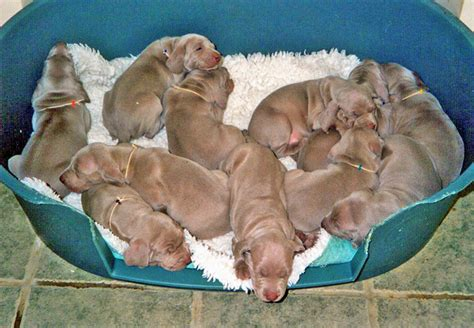 litter of puppies puppy photo gallery hollieseast weimaranershollieseast weimaraners