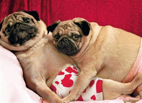 pug valentines card 1000 images about pug cards on i will you