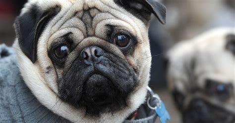 pug research cambridge reveal new research to combat health defects in pugs and