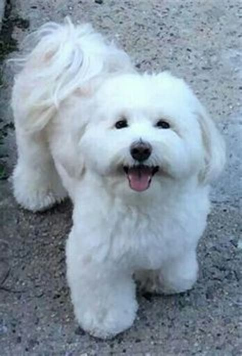 maltese dog cottony hair coton de tulear didn t know where to put this but i ve