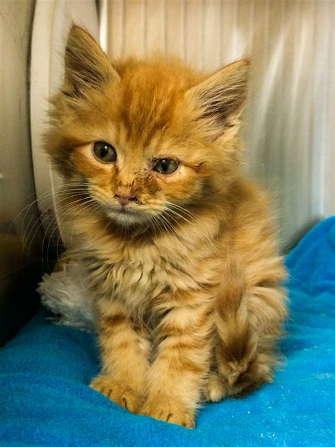san jose shelter san jose shelter saves more kittens each year tails of a shelter vet