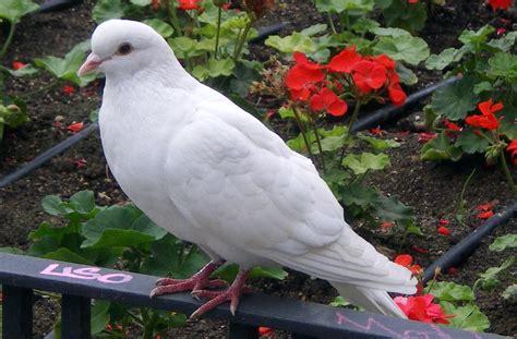 imagenes de tortolas blancas paloma posada en un 225 rbol im 225 genes y fotos