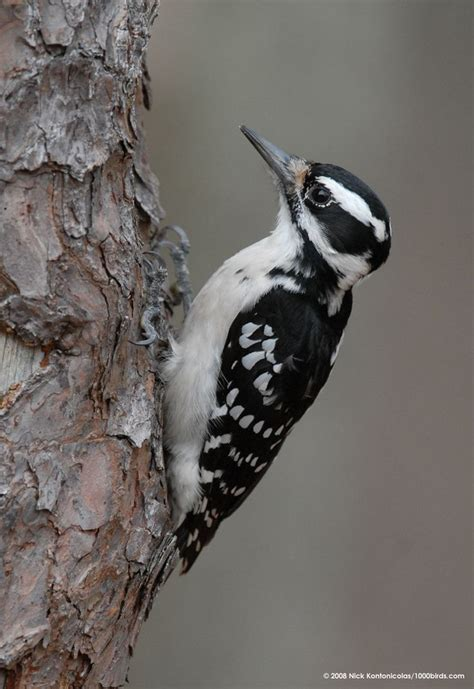 17 best images about north american birds on pinterest