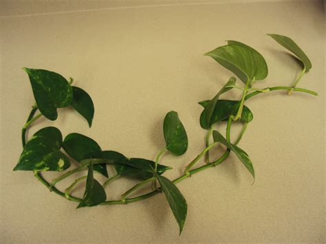 indoor vine plants indoor vine plant identification www pixshark com