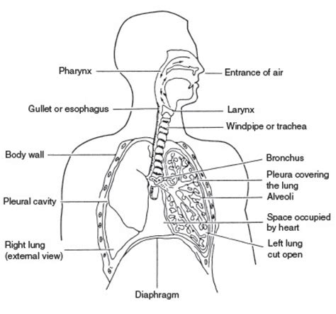 human diagram labeled diagram of human respiratory system with labels anatomy