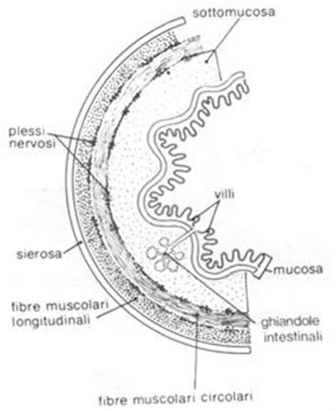 alimenti non digeriti nelle feci digestione fasi della digestione assorbimento cibo