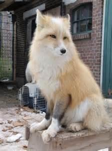 best 20 pet fox ideas on pinterest foxes cute fox and