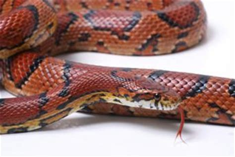 best snakes for pets | lovetoknow