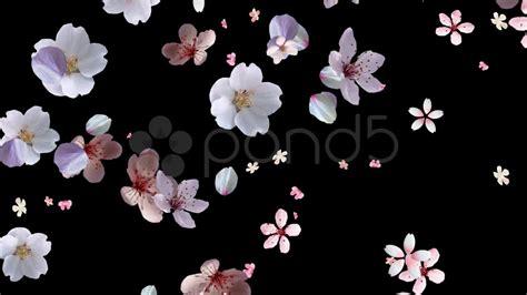 Japanese Blossom Tree cherry blossom petals falling hi res video 12441271