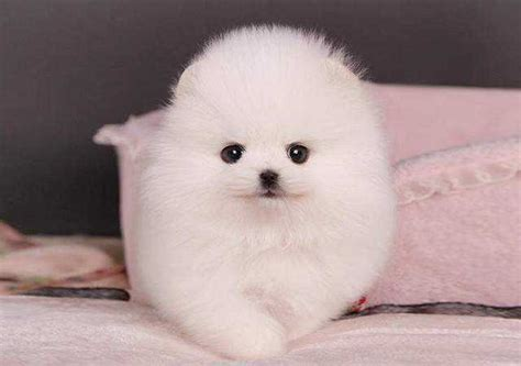 teacup pomeranian puppies for sale australia teacup pomeranian puppies for adoption for sale adoption from melbourne queensland