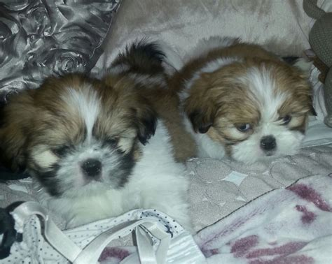 shih tzu for sale glasgow stunning shih tzu pups ready for their new homes glasgow lanarkshire pets4homes