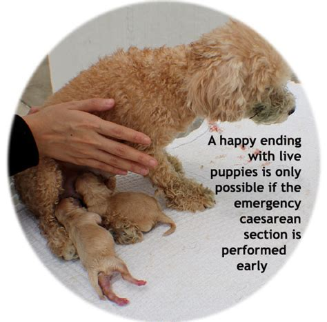 Emergency Caesarean Section by Veterinary Medicine Surgery Singapore Toa Payoh Vets