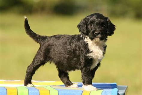 portugiesischer wasserhund hunderassen p charakter